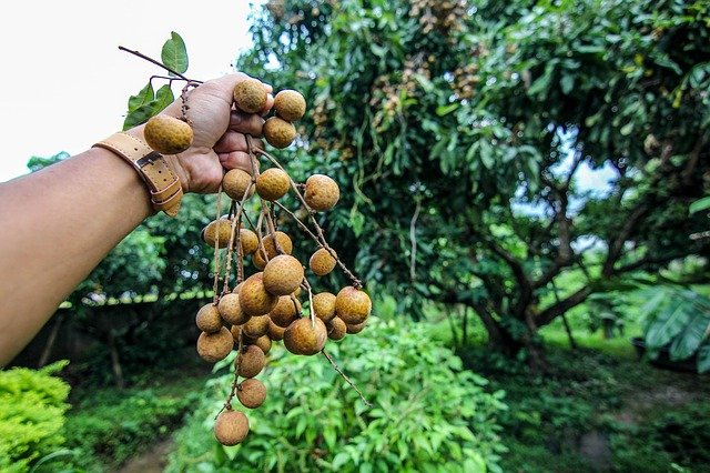 benefits of longan
