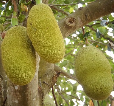 jackfruit asian fruit world 4
